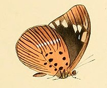 Aethiopana honorius.JPG