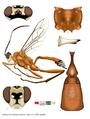 Aethioplites madagascariensis.png