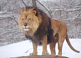 Un lion sous la neige au zoo de Pittsburgh (Pennsylvanie, États-Unis). (définition réelle 2800×2000)
