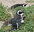 African Penguins (Spheniscus demersus) (32552751900).jpg