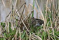 African Snipe, Gallinago nigripennis at Marievale Nature Reserve, Gauteng,South Africa (20898297133).jpg