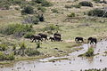 African elephants from a distance at the Oiliphants River, Kruger Park (19607061883).jpg