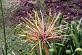 Agapanthus africanus 14zz.jpg