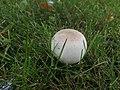 Agaricus xanthodermus ts3.jpg
