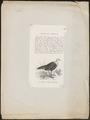 Agelastes meleagrides - 1700-1880 - Print - Iconographia Zoologica - Special Collections University of Amsterdam - UBA01 IZ16900292.tif