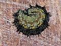 Aglais urticae (larva) - Small tortoiseshell (caterpillar) - Крапивница (гусеница) (39342118580).jpg