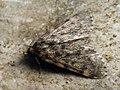 Aglossa pinguinalis - Large tabby - Огнёвка бесхоботная (40511279304).jpg