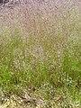 Agrostis nebulosa Habitus 2010-5-31 MestanzaValledeAlcudia.jpg