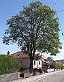 Ahorn Stennweilerstraße 50 in Ottweiler.jpg