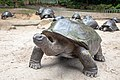 Aldabrachelys gigantea, Seychelles 01.jpg