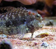 Salarias fasciatus wikipedia la enciclopedia libre Aquarium familia numerosa