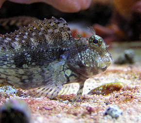 Description de l'image  Algae blenny.jpg.