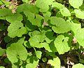 Alliaria petiolata - garlic mustard - desc-young foliage.jpg