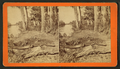 Alligator, from Robert N. Dennis collection of stereoscopic views.png