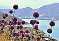 Allium (25468102008).jpg