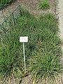 Allium schoenoprasum - Botanischer Garten München-Nymphenburg - DSC07802.JPG