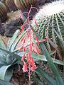 Aloe bellatula2.jpg