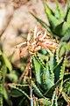 Aloe perfoliata in Botanischer Garten Muenster (2).jpg