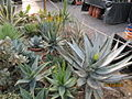Aloes and Agaves (4256689403).jpg