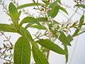 Aloysia triphylla flowers 01.JPG