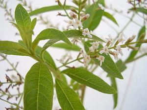 En: A flowering Lemon verbena, Aloysia triphyl...