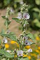 Althaea officinalis in Jardin des 5 sens (2).jpg