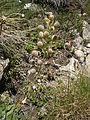 Alyssoides utriculata 001.JPG