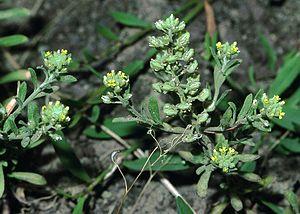 Alyssum allyssoides eF.jpg