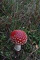 Amanita muscaria (29965036841).jpg