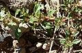Amaranthus albus 2.jpg