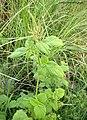 Amaranthus spinosus Pattaya Chonburi (16238802629).jpg