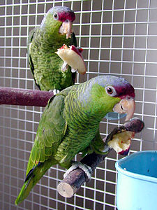 Amazona finschi (pair) -eating apple-8a.jpg