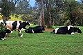 Ambewela farm (New Zealand Farm).jpg