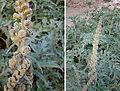 Ambrosia arborescens (8479755581).jpg