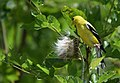 American Goldfinch (37608780916).jpg