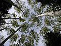 An aspen canopy located on the slope of the San Fransisco peaks.jpg
