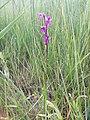 Anacamptis palustris (subsp. palustris) sl5.jpg