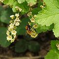 Andrena fulva.jpg