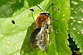 Andrena haemorrhoa (RL) (17308083646).jpg