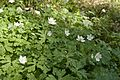 Anemone flaccida 04.jpg