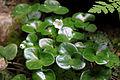 Anemone hepatica Serrania de Cuenca.JPG