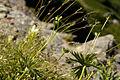 Anemone narcissiflora 27.jpg