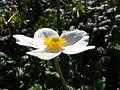Anemone sylvestris BOGA 2.jpg
