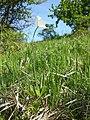Anemone sylvestris sl22.jpg