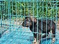 Animal Market Yogya Java347.jpg