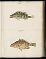 Animal drawings collected by Felix Platter, p1 - (75).jpg