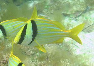 Anisotremus virginicus - Image: Anisotremus virginicus in Madagascar Reef