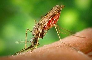Tropical medicine - Anopheles albimanus mosquito