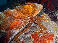 Antedon bifida, Acantilado de los Gigantes.jpg