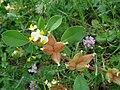 Anthyllis tetraphylla.JPG